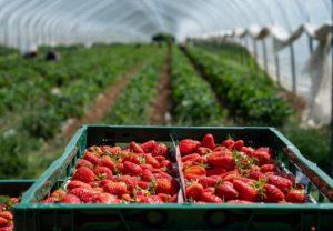 Albinism in strawberries