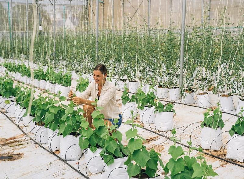 Blueberry Hydroponics Crops