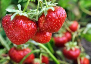 Phosphorus Deficiency in Strawberries