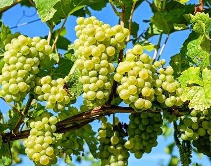 reserves in vines and fruit trees